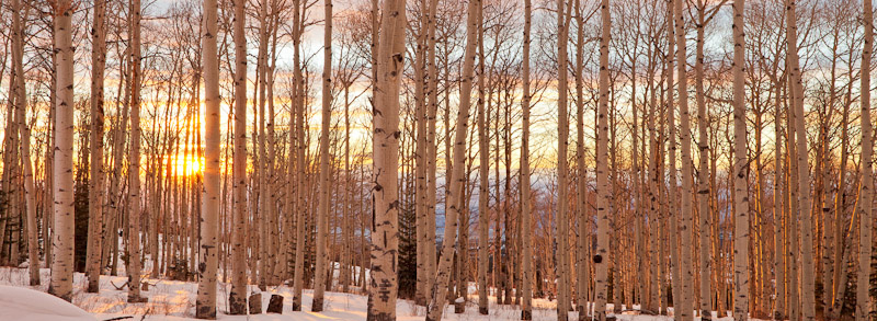 Sunset and Winter Aspens, Utah